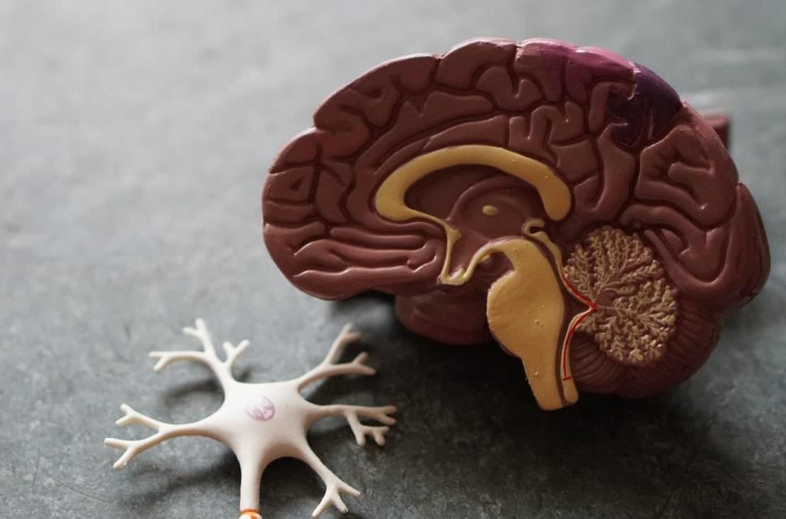 Les testicules et le cerveau ont plus en commun qu'on ne le croit